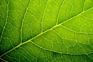 leaf-veins-537x357